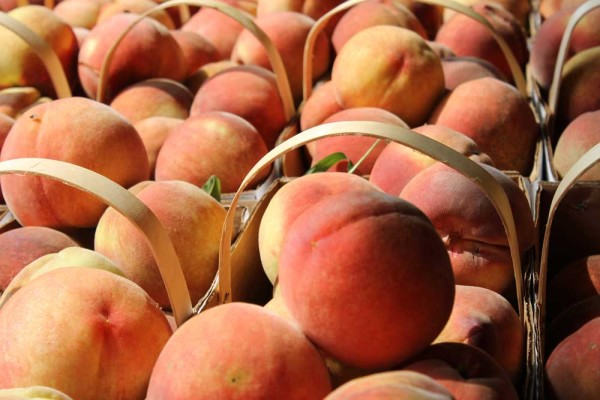 Fresh peaches by the bushel at Reid's Orchard