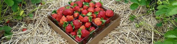 fresh strawberries you pick at Reid's Orchard