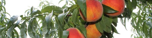 Reid Orchard Peaches on the tree